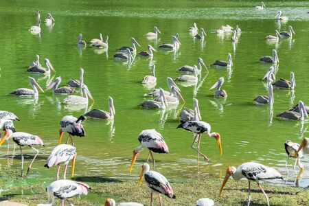 Group of painted stork in the pond photo