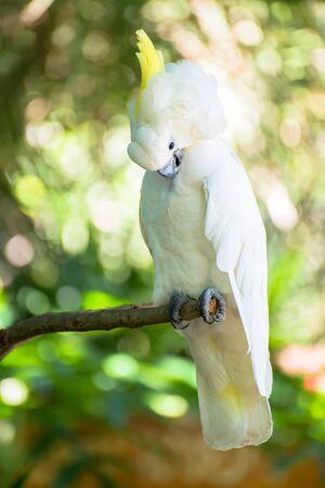 kakadu: Kakadu parrot