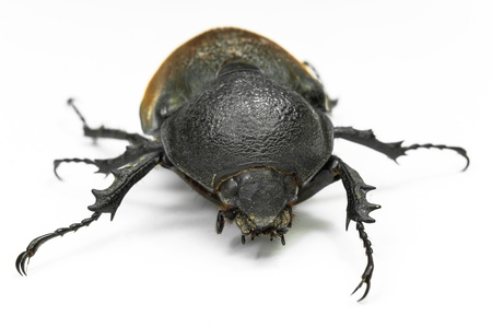Earth-boring dung beetle  Stock Photo - 20774846
