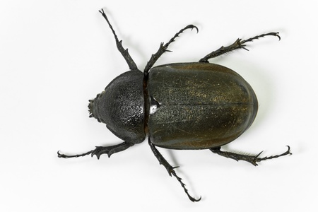 Earth-boring dung beetle  photo