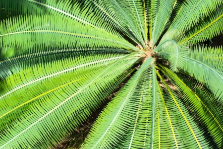 cycadaceae: Cycad scientific name is Cycas circinalis L , Families Cycadaceae Stock Photo