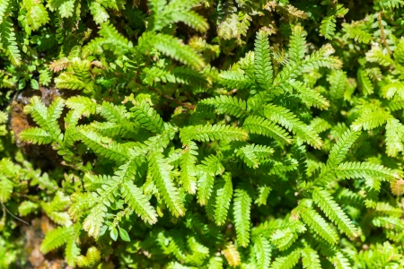 Top view of Selaginella tamariscina photo