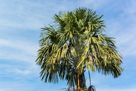 suger: Suger palm tree Stock Photo