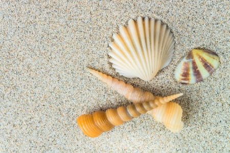fan shaped: sea shells with sand as background