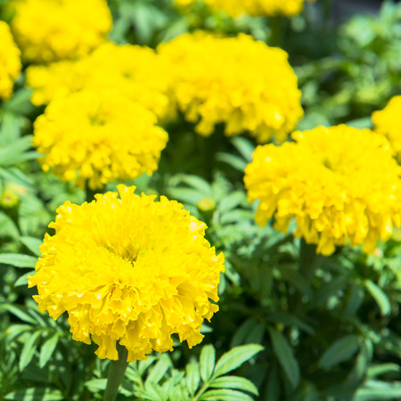 marigold flowers in the garden  photo
