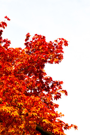 Red, yellow and orange autumn leaves fall background  photo