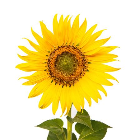 Single sunflower isolated on white