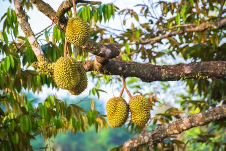 Durian Fruit Standard-Bild