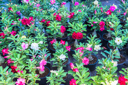 obesum: impala lily