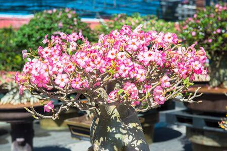 adenium obesum balf: impala lily