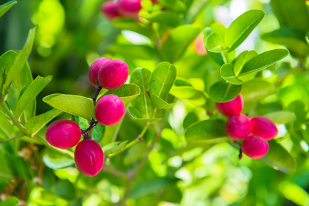 Fresh Karonda Fruit or Lime Berry hanging on a bush of green leaves