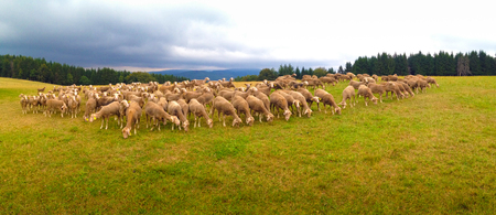 Panorama of sheep in a field in France along pilgrimage of camino de santiago or chemin de st. jaqcues Stok Fotoğraf