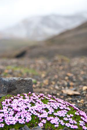 Flowers survive alone in Icelandic landscape Stock Photo