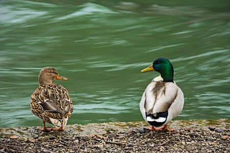 twosome: Pair of ducks at river looking at eachother Stock Photo