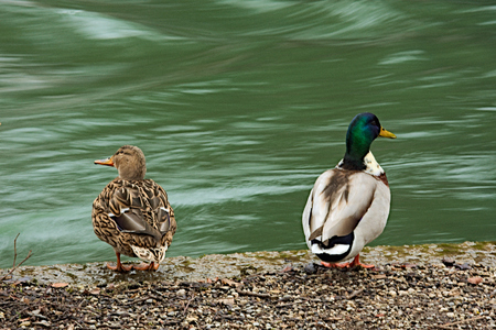 fluent: Pair of ducks looking away from eachother Stock Photo
