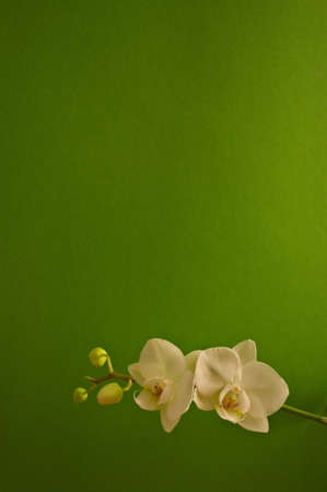 Orchid with buds in front of green background