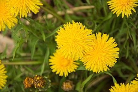 turba: Brillante planta de diente de león amarillo en la turba marrón Foto de archivo