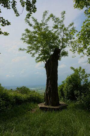 cutoff: New tree shoots growing on cut-off tree trunk Stock Photo