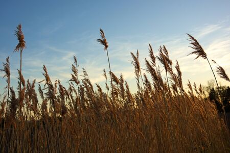 peace plan: Reeds in front of blue sky at sunset hot