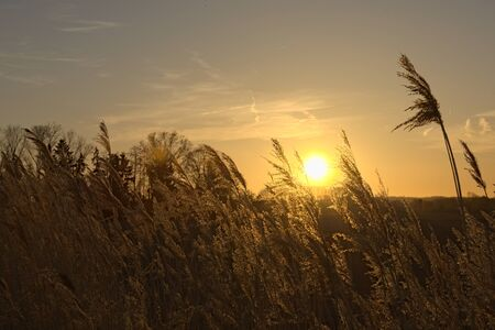 phragmites: Reeds in front of blue sky at sunset hot