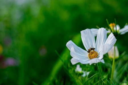 nectar: Bee pollinates nectar of white blossom