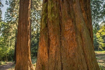 reverent: Giant sequoias with large diameter