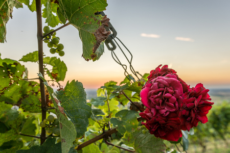 Beautiful red rose at sunset in vineyards