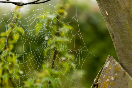 Spider web with dew drops in vineyards