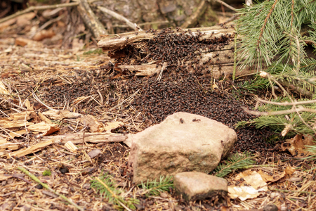 Massive anthill in forest with huge amount of ants