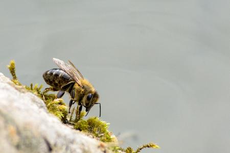 Nahaufnahme von Biene auf Moos und Stein