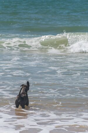 A dog in the atlantic sea, its paws touch the ground, it wears a dog collar, it seems to isten to the sound of the ocean because its ears is raised