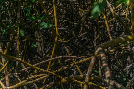 Close up, detailed and dark perspective of the intricate braiding of the roots and branches of the mangrove vegetation, a kind of plant that grows in coastal saline at Trancoso, Porto Seguro, Bahia
