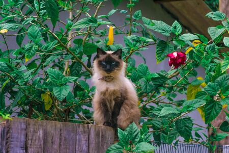 Stare of a beautiful blue-eyed Asian and domestic Balinese cat, Siamese cat with long fur, standing over a wooden fence surrounded by green leaves and a red flower near the garden of a house 写真素材