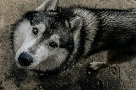 Downwards perspective of a big, cute and adult Siberian Husky mixed dog, with hazel eyes and black, white and grey fur, looking deeply into the camera with a concrete background floor