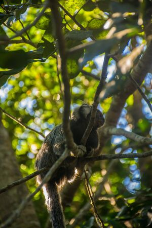 Upwards perspective of a small and adorable Callithrix Jacchus, the common marmoset standing under the shadow of the trees and hanging onto some branches a blurred green background Imagens
