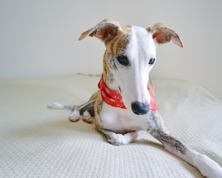 A whippet dog laid on the bed, with a red scarf around the neck