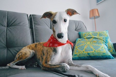 A whippet dog lying on a sofa, with a red scarf around the neck
