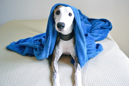 Cute whippet dog laying on a bed with a blue blanket Imagens