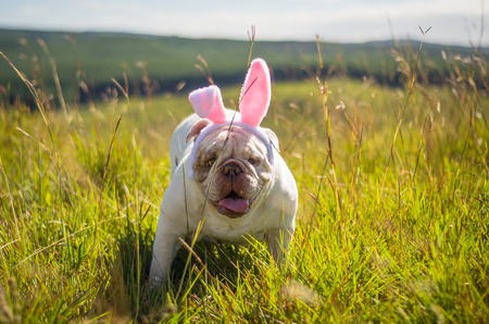Great concept of Easter. Cute English bulldog breed dog dressed as Easter bunny running on the lawn. Imagens