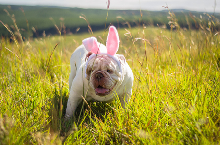 Great concept of Easter. Cute English bulldog breed dog dressed as Easter bunny running on the lawn. Stock Photo