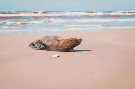Sea Lion lying on the sand of the beach with fish next to it. Mostardas, Rio Grande do Sul, Brazil.