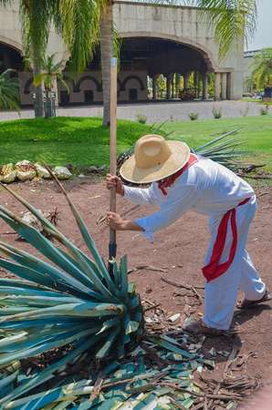 Blue Agave plant being harvested and cut, prepared for the production of Tequila