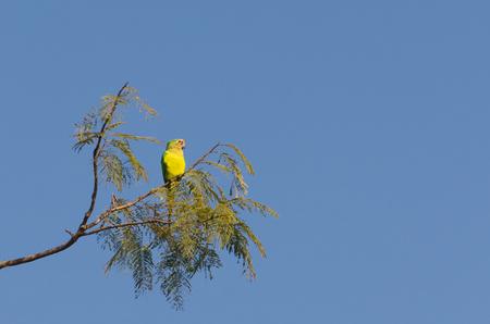 Beautiful birds Prince-Black Parakeets or Nanday Parakeet (Aratinga nenday) in a tree in the Brazilian Pantanal. Stock Photo