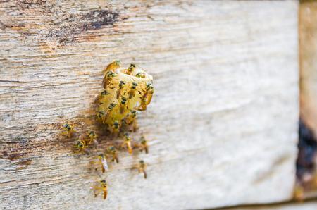 Bee hive without sting, Jataí bee (Tetragonisca angustula) Stock Photo