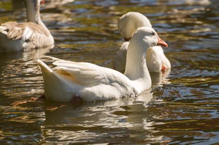 Several white ducks swimming on Lake São Bernardo in São Francisco de Paula in Brazil. Stock Photo