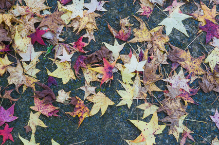 Great concept of autumn, red leaves of platanus fallen on the ground.