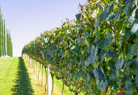 Vineyard of grapes in the Vale dos Vinhedos in Bento Gonçalves, a gaucho wine.
