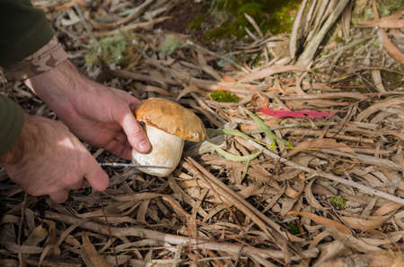 Hunting edible porcini mushrooms in the forest
