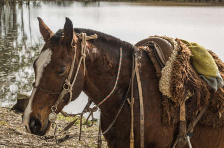 Horses of the Creole breed in farm.