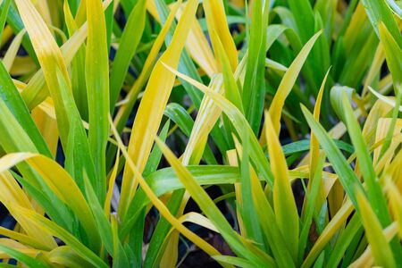 Pine screw (Pandan leaf) flowers are yellow and green. Planted as a garden to make it look glittering yellow. Small green yellow leaves. In the evening after the rain. Banque d'images
